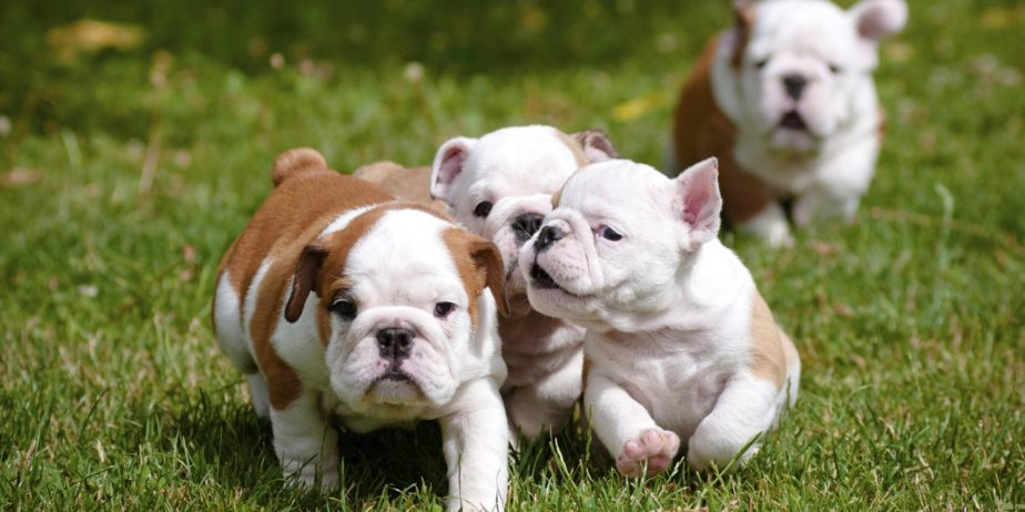 shalom_english_bulldog_puppies-1515159460-783-e